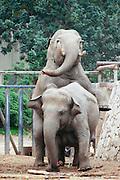 Male Asiatic Elephant Elephas maximus mounting a female