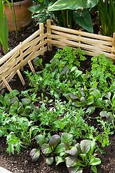 Red Giant Mustard, Mizuna and Salad rocket ( Arugula )