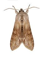 73.054 (2218)<br /> Cudweed - Cucullia gnaphalii