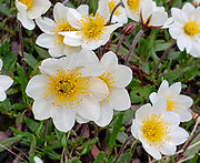 Dryas octopetala (also known as mountain avens, white dryas, or white dryad) is an Arctic–alpine flowering plant in the family Rosaceae. Photographed in Denali National Park, Alaska, USA. This small prostrate evergreen subshrub forms large colonies. Its name octopetala derives from the Greek octo (eight) and petalon (petal). Its eight petals are an unusual number in the Rosaceae family, where five is normal, though flowers with up to 16 petals also occur naturally.