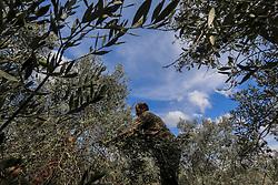 October 9, 2018 - Deir Al-Balah, The Gaza Strip, Palestine - A Palestinian farmer stretch out an olive branch in Deir al-Balah central of the Gaza Strip. (Credit Image: © Mahmoud Khattab/Quds Net News via ZUMA Wire)