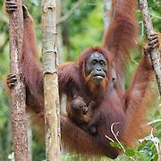 Orang-utan (Pongo pygmaeus) mother with baby. Tanjung Puting National Park. Borneo, hang, hanging,