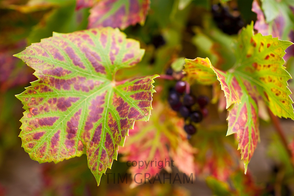 Ripe grapes on a grapevine in country garden at Swinbrook in The Cotswolds, Oxfordshire, UK