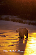 01874-01420 Polar Bear (Ursus maritimus)  walking on frozen pond at sunset Churchill  MB