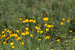 Prairie Coneflower paints the prairie a vivid color of yellow and brown