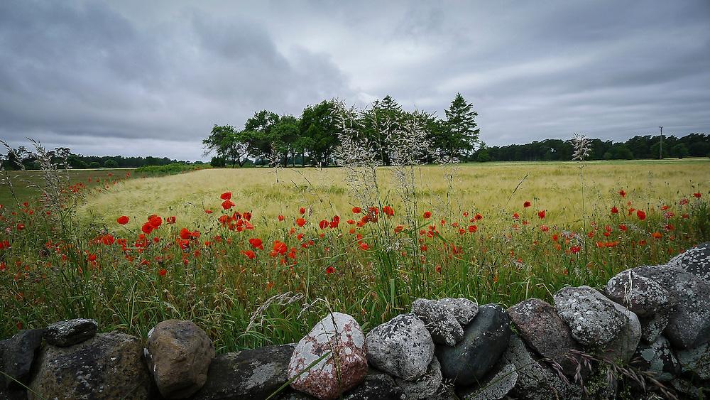 Vallmo och kornåker på Sudret, södra Gotland