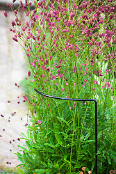 Curved plant support around Sanguisorba