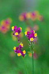 Linaria reticulata 'Flamenco'. Toadflax