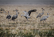 """Sandhill Cranes. San Luis Valley, Colorado. <br /> <br /> AVAILABLE AS:<br /> <br /> Size 20"""" x 16"""" (50.8cm x 40.6cm approx)*<br /> Edition of ONLY 100 at this size.<br /> US$350 + shipping<br /> <br /> Hand printed in Taos, New Mexico, USA by Taos Print and Photography Services using archival inks and fine art paper. signed and numbered by hand.<br /> <br /> Contact jim@jimodonnellphotography.com to order"""