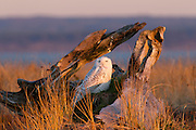 A snowy owl (Nyctea scandiaca) rests in an old stump at Damon Point in Ocean Shores, Washington. Snowy owls, which spend the summer in the northern circumpolar region north of 60 degrees latitude, have a typical winter range that includes Alaska, Canada and northern Eurasia. Every several years, for reasons still unexplained, the snowy owls migrate much farther south in an event known as an irruption. One leading theory is that the snowy owl population grew so fast last summer that they have to spread out more than usual to find food this winter. One was reported as far south as Hawaii. During the 2011-2012 irruption, Ocean Shores on the Washington coast was the winter home for an especially large number of snowy owls. Snowy owls tend to prefer coastal and plains areas, which most resemble the open tundra that serves as their typical home. Snowy owls, like other owls, hunt at night and rest during the day to conserve energy.