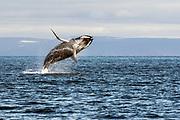 Humpback Whale Jump