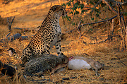 Chetah {Acinonyx jubatus} mother and cubs feeding on Impala carcass, Okavango Delta, Botswana