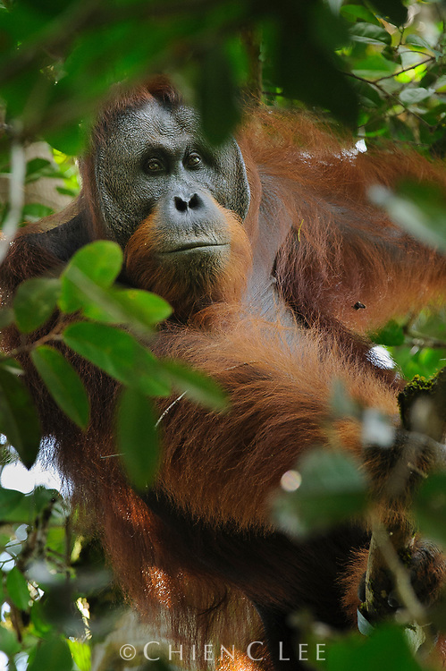 This large male Northwest Bornean Orangutan (Pongo pygmaeus pygmaeus) is just beginning to develop cheek pads, a sign of maturity and placing his age to perhaps between 15 to 20 years. Batang Ai, Sarawak, Malaysia (Borneo).