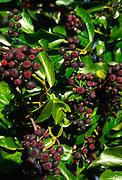 A07WT3 English ivy common ivy Hedera helix infructescene