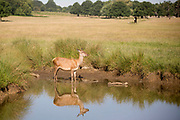 UNITED KINGDOM, London: 25 June 2020 <br /> A red deer cools it's feet in the water in Richmond Park, London in the early morning sun this morning. Temperatures have soared over the last few days and are expected to reach up to 34C degrees today, with possibly the highest ever UV levels being recorded.