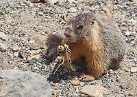 Yellow-bellied marmot, Marmota flaviventris, eating a root. Near Silver Lake, Sierra Nevada, California