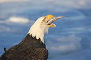 BALD EAGLE SWALLOWING A FISH.HALIAEETUS LEUCOCEPHALUSs).HOMER, ALASKA