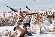 Kenya, lake naivasha, Kenya, a flock of white pelican pelecanus onocrotalus