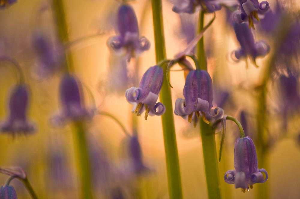 Bluebells Hyacinthoides non-scripta in Hallerbos forest at sunset, Belgium