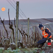 Vineyard worker Sebastien Krs prunes pinot noir grapes at Champagne Mumm.G. H. Mumm & Cie, situated in Reims in northern France, is one of the largest Champagne producers and it is currently ranked 3rd globally based on number of bottles sold. The company is owned by Pernod Ricard.