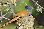 Paradise flycatcher, Terpsiphone viridis, Limpopo, South Africa, male at nest, a summer migrant