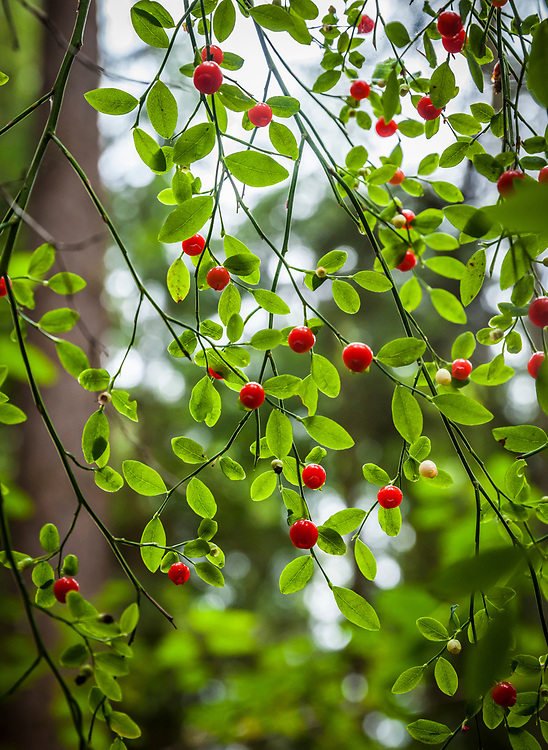 Vaccinium parvifolium or Red Huckleberry, South Whidbey State Park, Whidbey Island, Washington, USA.