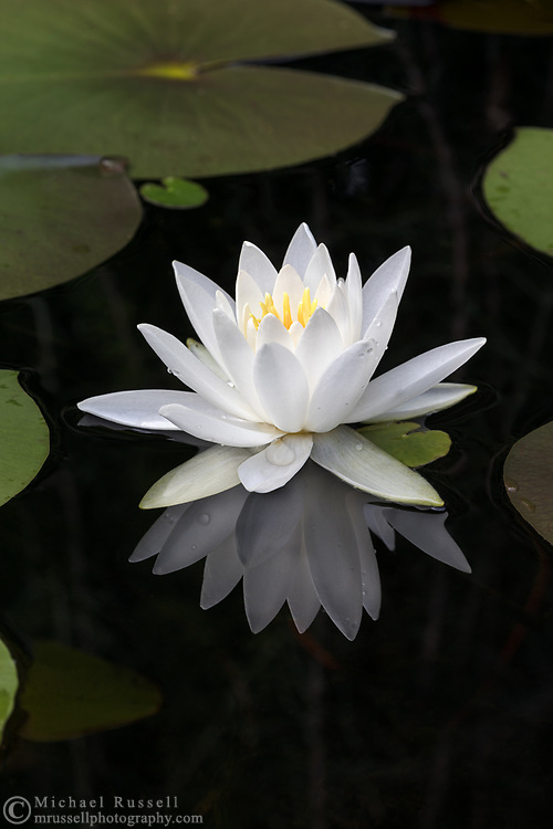 A Pond Lily flower (Nymphaeaceae) is reflected in a backyard pond in the Fraser Valley of British Columbia, Canada.