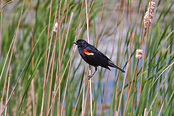 Red Winged Black Bird perches on a cattail stalk at the edge of Bemidji Lake