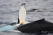 Humpback whale rolling beside another that is diving,