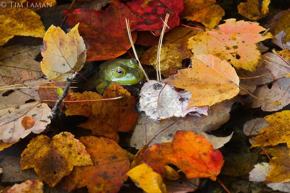 Green frog (Rana clamitans) among fall leaves.  Walden Pond, Massachusetts.  Fall views at Walden Pond