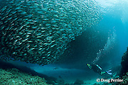 scuba diver / underwater videographer records changing shapes of a school of akule, bigeye scad, big-eye scad, or goggle-eyes, Selar crumenopthalmus, Keauhou Bay, Kona, Hawaii ( Big Island ) Hawaiian Islands ( Central Pacific Ocean )