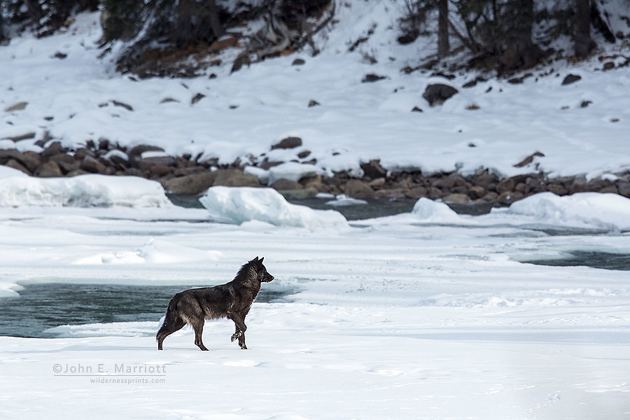 Black wolf on the frozen Athabasca River in Jasper National Park