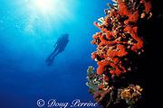 diver and red finger sponges, Aplysina sp., Molasses Reef, Florida Keys National Marine Sanctuary, Key Largo, Florida ( Western Atlantic Ocean )  MR 79