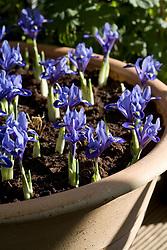 Massed Iris reticulata planted in large terracotta pot
