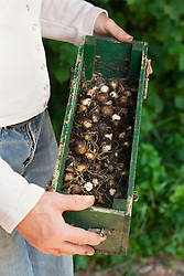 Propagating snowdrops by division. Carrying box of bulbs