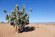 A rubberbush (Calotropis procera) against clear blue sky in the  Sahara desert, Chagaga, Morocco.