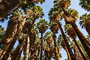 """Visit the world's largest California Fan Palm oasis on the beautiful Palm Canyon Trail, a great """"tour de fronds."""" We hiked the Palm Canyon Trail to Indian Potrero Trail to Stone Pools, and looping back via Victor Trail, in the Indian Canyons, Palm Springs, California, USA. The Indian Canyons are the ancestral home of the Agua Caliente Band of Cahuilla Indians. California fan palms (Washingtonia filifera in the palm family Arecaceae) are native to the far southwestern United States and Baja California. Today's oasis environment was protected from a drying climate, restricting this cold-tolerant palm to widely separated relict groves."""