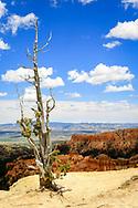 Lone weathered pine on Bryce Canyon rim. Photo taken May 15, 2016.