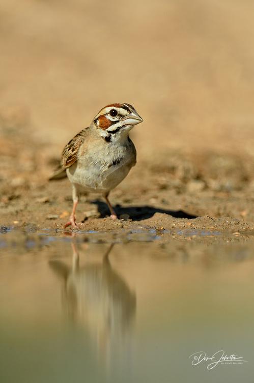 Lark Sparrow (Chondestes grammacus), Rio Grande City, Texas, USA
