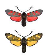 Six-spot Burnet - Zygaena filipendulae<br /> top = normal form<br /> bottom = unusual yellow form<br /> 54.008 BF169