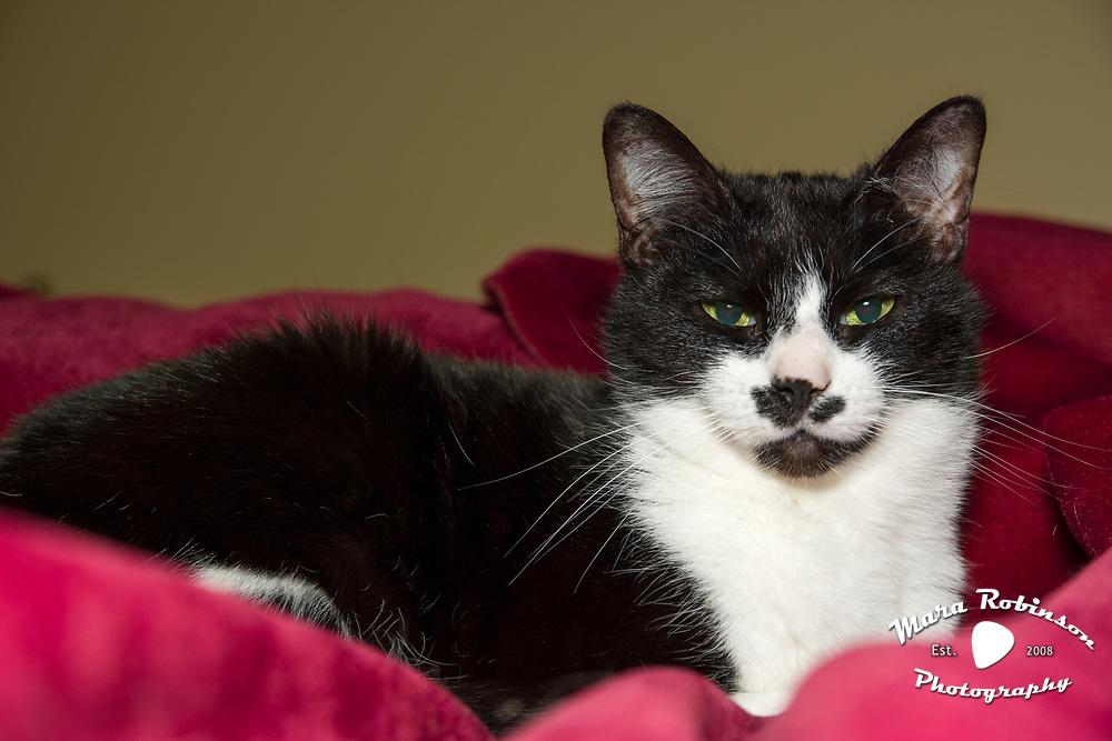 tuxedo cat Zappa by Akron pet portrait photographer Mara Robinson
