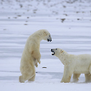 A pair of male polar bears (Ursus maritimus) wrestling on the ice. Hudson Bay, Churchill, Canada
