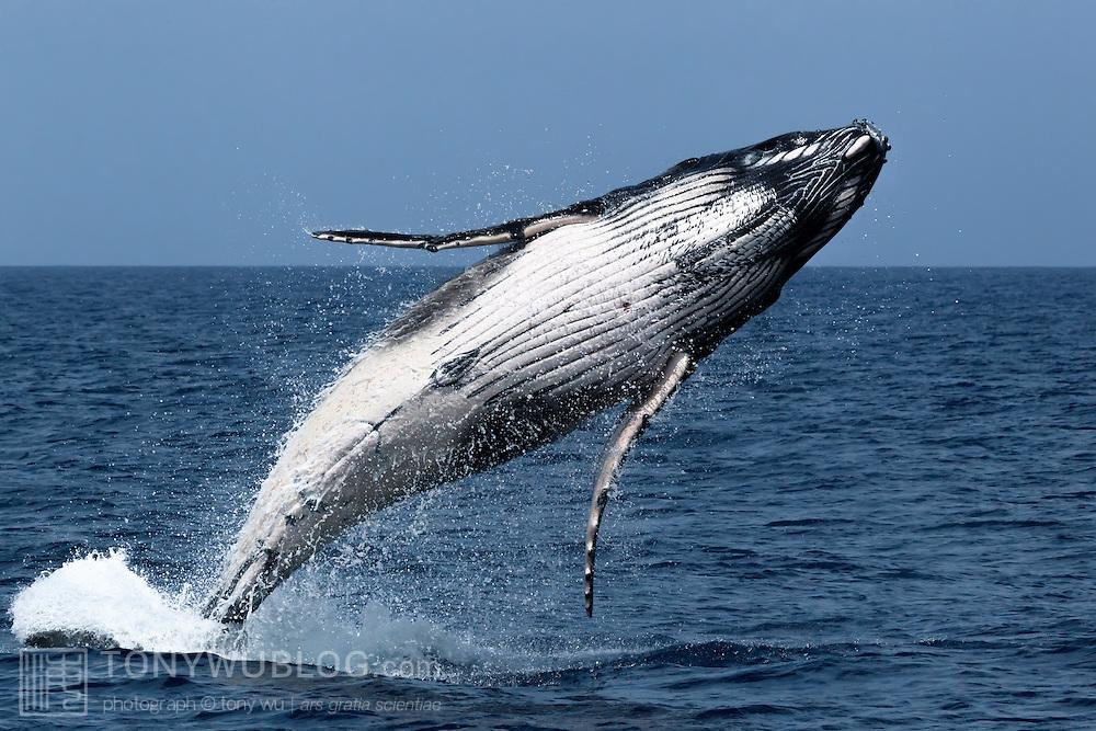 Male humpback whale calf (Megaptera novaeangliae) breaching. Photographed in Vava'u, Kingdom of Tonga.