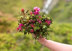THEMENBILD - eine Frau hält einen Blumenstrauß aus Alpenrose, (Rhododendron hirsutum) in die Luft, aufgenommen am 01. Juli 2019, Kaprun, Österreich // a woman holds a bouquet of alpine rose (Rhododendron hirsutum) in the air on 2019/07/01, Kaprun, Austria. EXPA Pictures © 2019, PhotoCredit: EXPA/ Stefanie Oberhauser