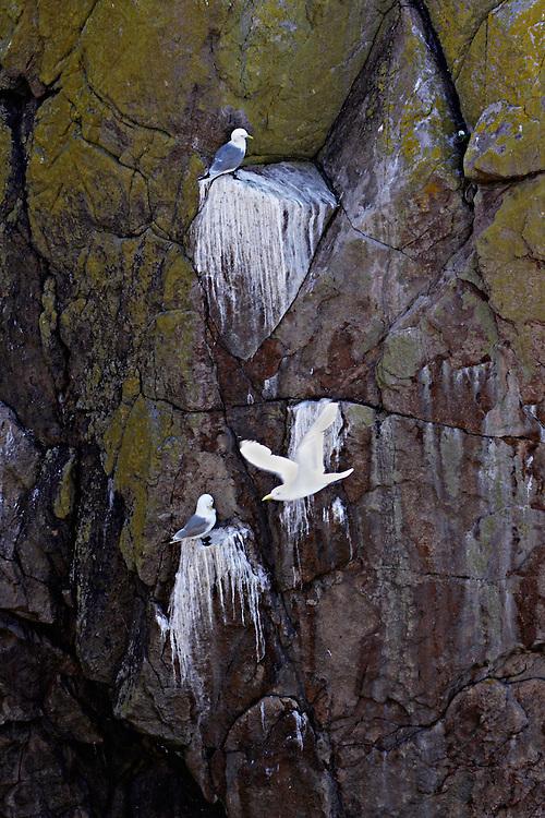 Kittiwake, Rissa, bird cliff, Saltee Islands, Ireland