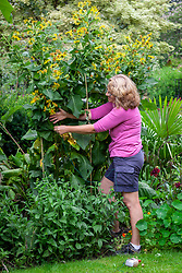Rescuing big plants that have flopped when they're in full flower. Re-staking an Inula