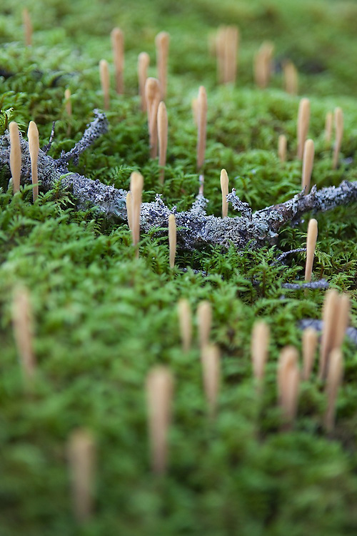 Club-shaped coral mushrooms grow from the moss-covered ground in Wrangell-St. Elias National Park, Alaska.