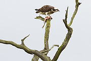 Osprey eating a freshly caught bass on the shores of Poole Harbour at Arne. Dorset, UK.