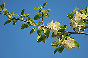 Goodland apple blossoms, Winnipeg, Manitoba, Canada