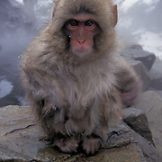 Snow Monkey or Japanese Red-faced Macaque, (Macaca fuscata) Japan.
